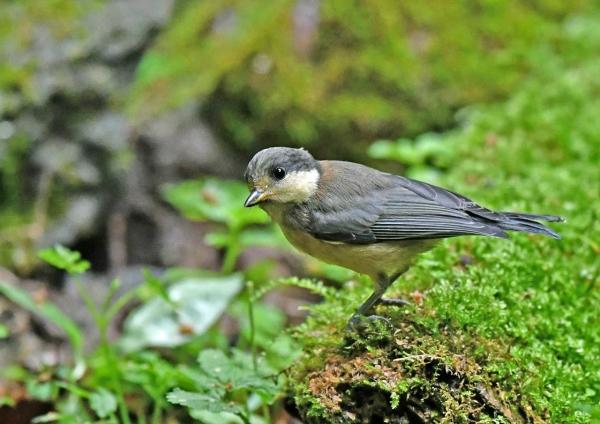 ヤマガラ幼鳥2 DSN_1818