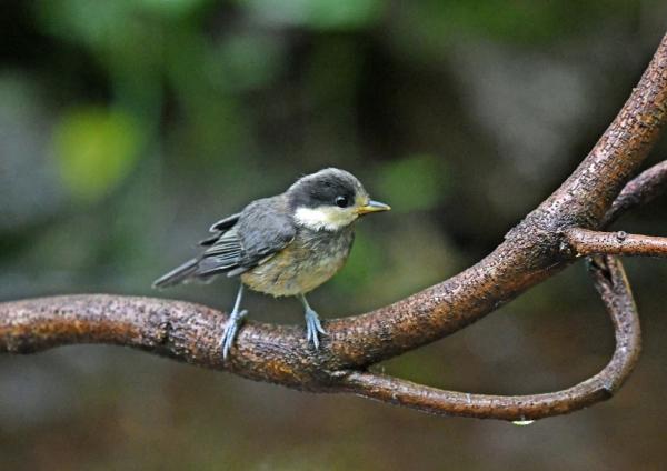 ヤマガラ幼鳥3 DSN_1697