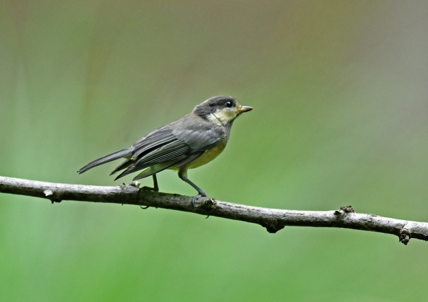 ヤマガラ幼鳥4 DSN_2136