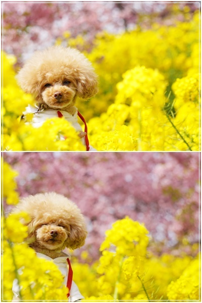 ライチ&菜の花