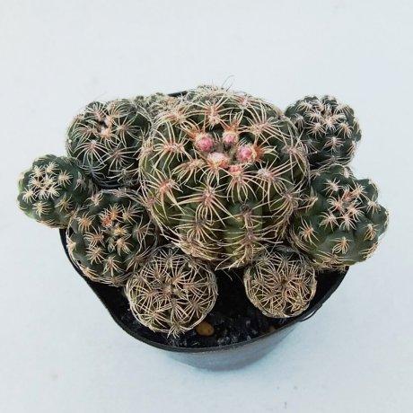 190305--DSC_0413--bruchii ssp lafaldene--LB 1093--ex Eden 14416