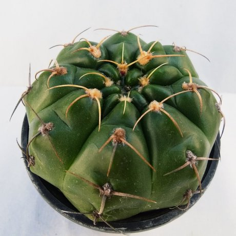 190308--DSC_0431--paraguayense--P 447--Piltz seed