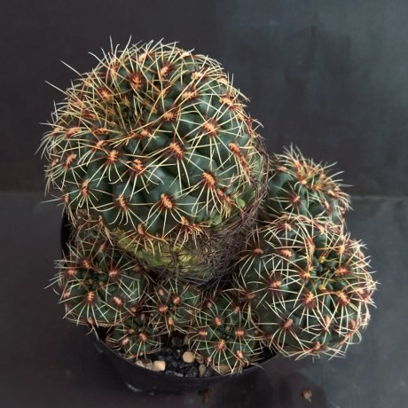 190220--DSC_0352--mesopotamicum--LB 2298--Bercht seed
