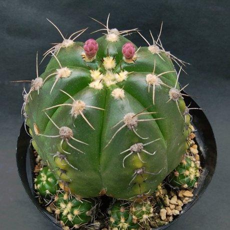 190423--DSC_1087--fleischerianum--P 411--Oyopoi Paraguay--Mesa seed 464.092