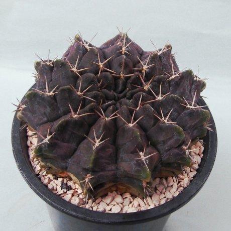 140117--Sany0052--rotundicarpum--Piltz seed 3293