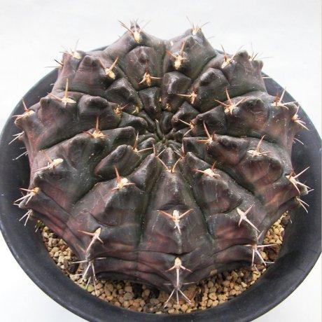 170308--Sany0089--rotundicarpum--Piltz seed 3293