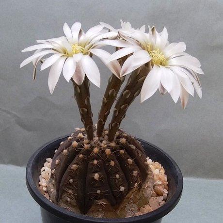 190506--DSC_1355--ragonesei--P 18--Mes seed 484.465