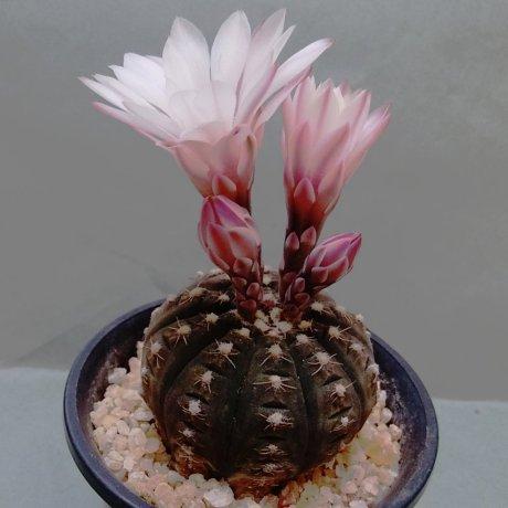 190506--DSC_1360--ragonesei f roseiflorum--Jecminek seed
