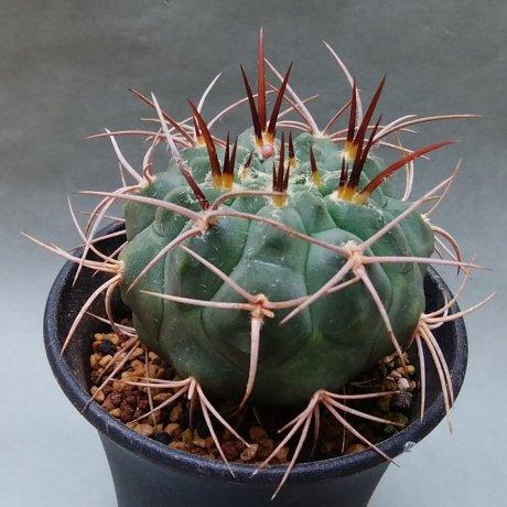 190510--DSC_1471--coloradense--HV 1680--Sierra de la Punta Negra LR--Bercht seed 2510(2016)
