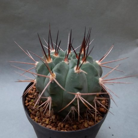 190510--DSC_1475--coloradense--STO 0011--Bercht seed (2014)