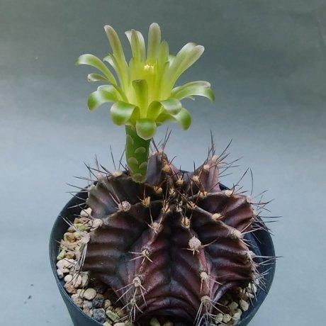 190525a--DSC_1753--mihanovichii-koehres seed --Paraguay Boqueron
