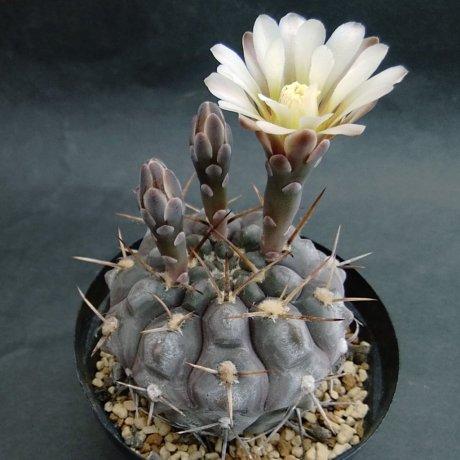190529--DSC_1852--borthii ssp nogolense--VoS 0188--NW of San Antonio R 141 SL 794m--ex Eden IB 18598 (2018)