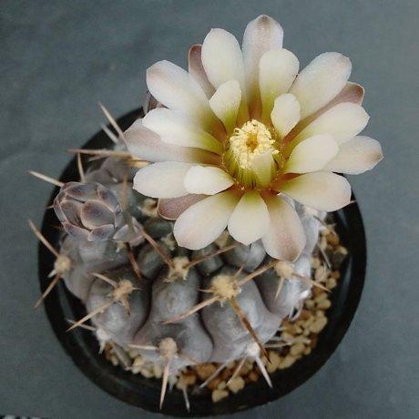 190529--DSC_1854--borthii ssp nogolense--VoS 0188--NW of San antonio SL--ex Eden 185998 (2018)