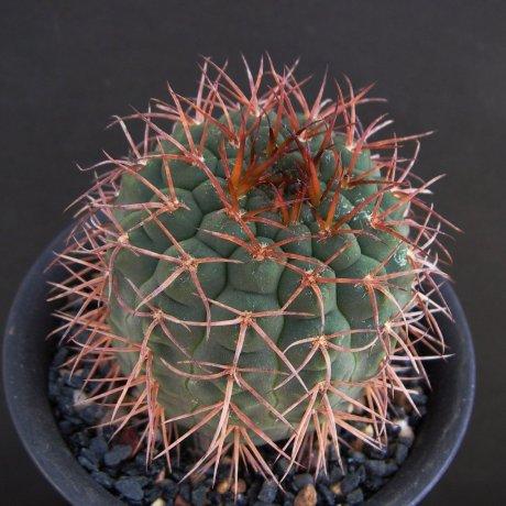 181021--Sany0034----riojense v vertongenii--HV 1438--Laguna Brava LR--Bercht seed 3812 (2014)