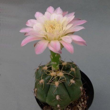 190603--DSC_2011--denudatum--PR 288A--Bercht seed 2463 (2012)