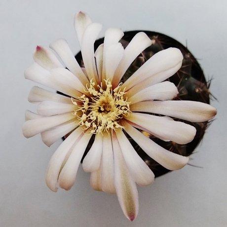 190611--DSC_2159--erolesii--LB 2308--Bercht seed