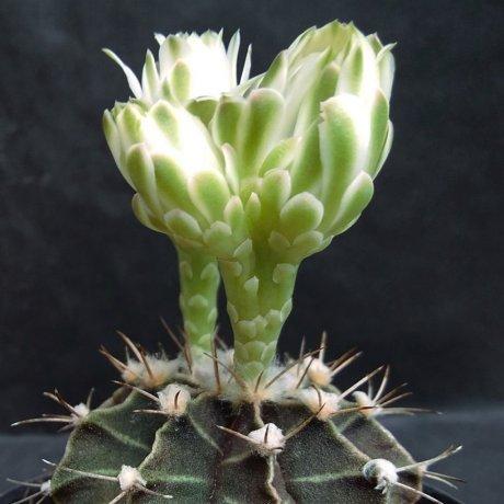 190614--DSC_2196--friedrichii --STO 995--Amerhauser seed