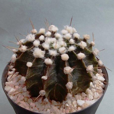 181215a_110413--friedrichii-LB 2218--Bercht seed