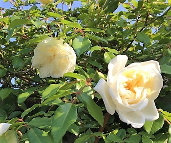 rosewh.jpg