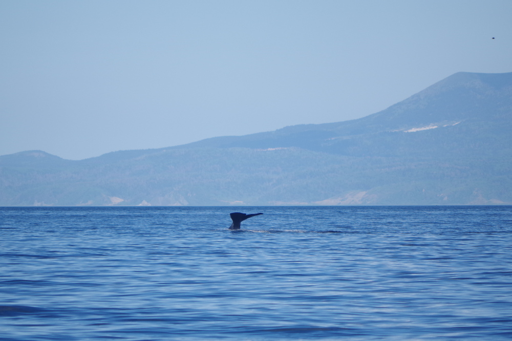 潜水するマッコウクジラのしっぽ