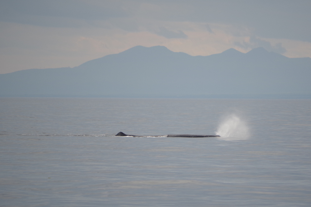 最後にミンククジラ 後は知床半島
