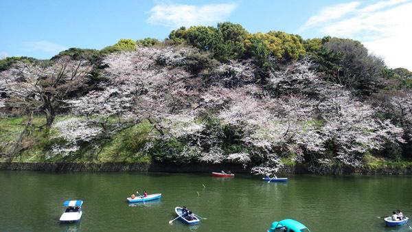 山のような皇居の桜も良い 2