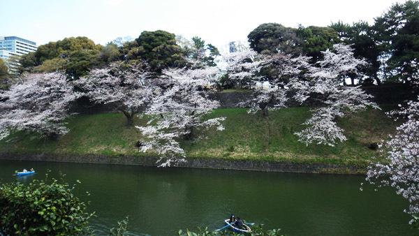 対面の桜の木の間隔がすてき 7