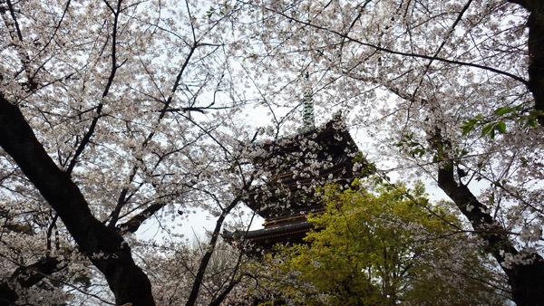五重の塔と桜