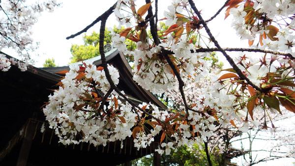 山桜がすてき