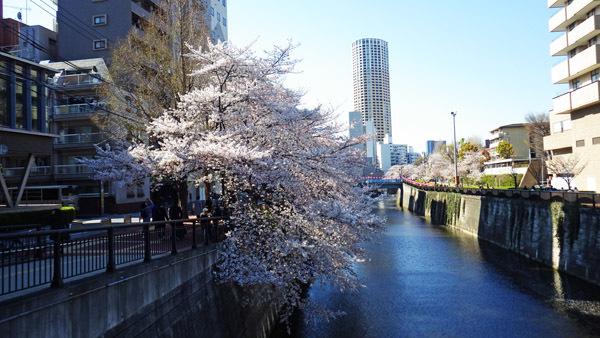 目黒川 ビル 桜
