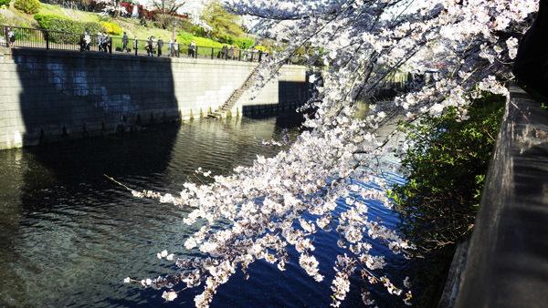 目黒川 桜で歩く