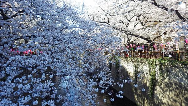 まさに満開 目黒の桜