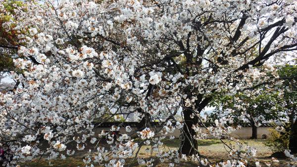 本丸 山桜