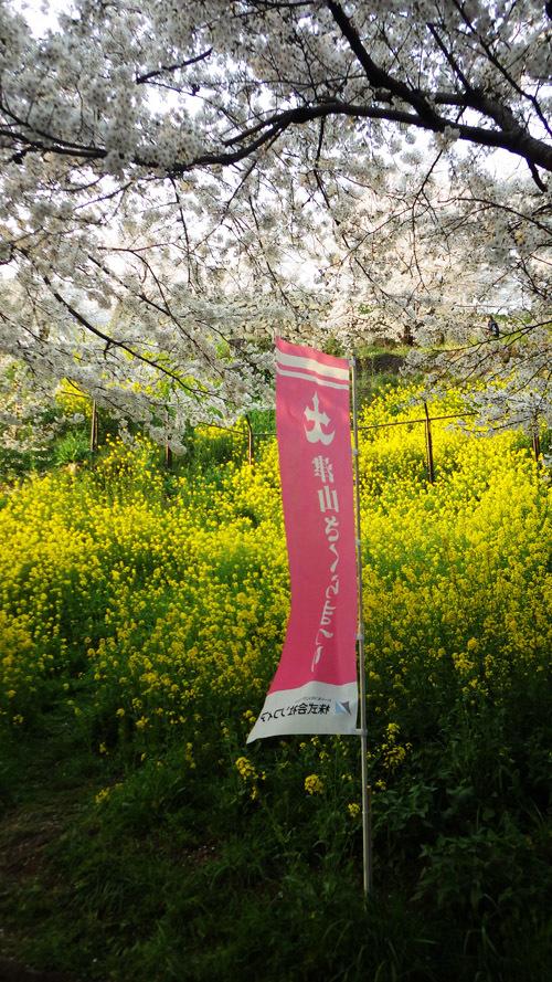 津山桜まつり 菜の花と桜