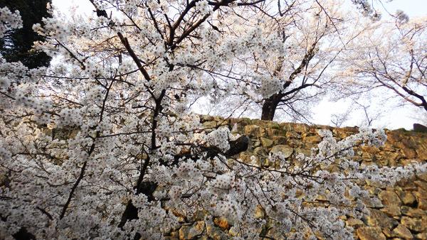 石垣と満開の桜