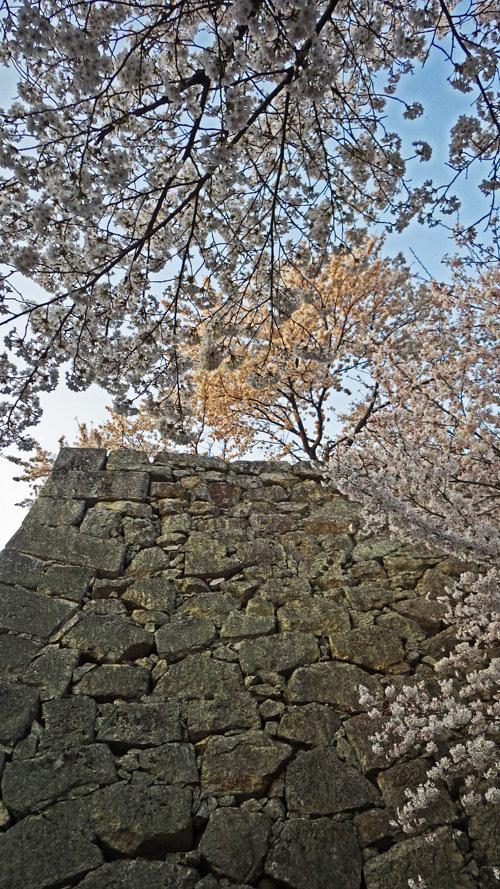 角の石垣と桜