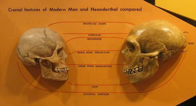 400px-Sapiens_neanderthal_comparison.jpg