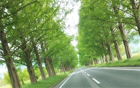 5月 メタセコイア並木