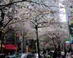 1.中央通り:日本橋二丁目櫻通り-07D 1903qtc