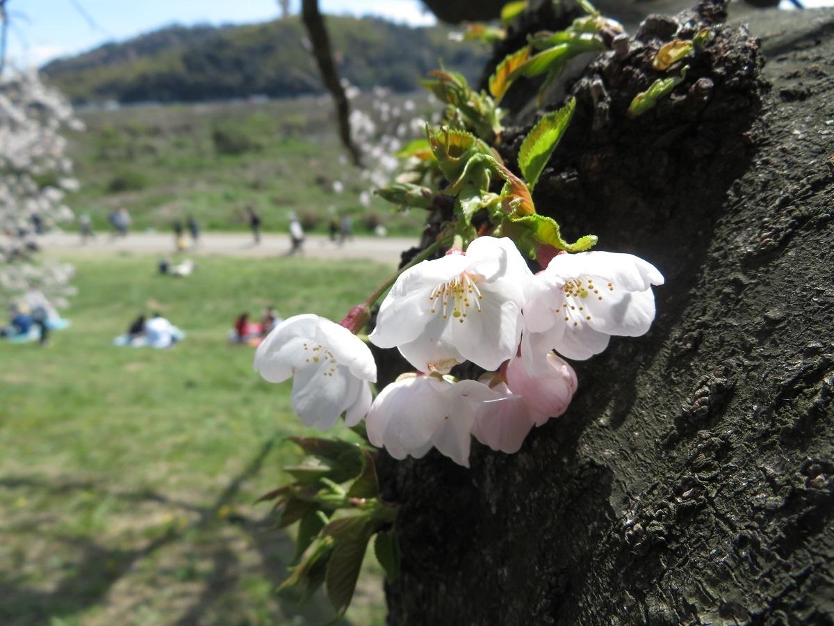 1.「胴咲きさくら」(八幡市背割堤)