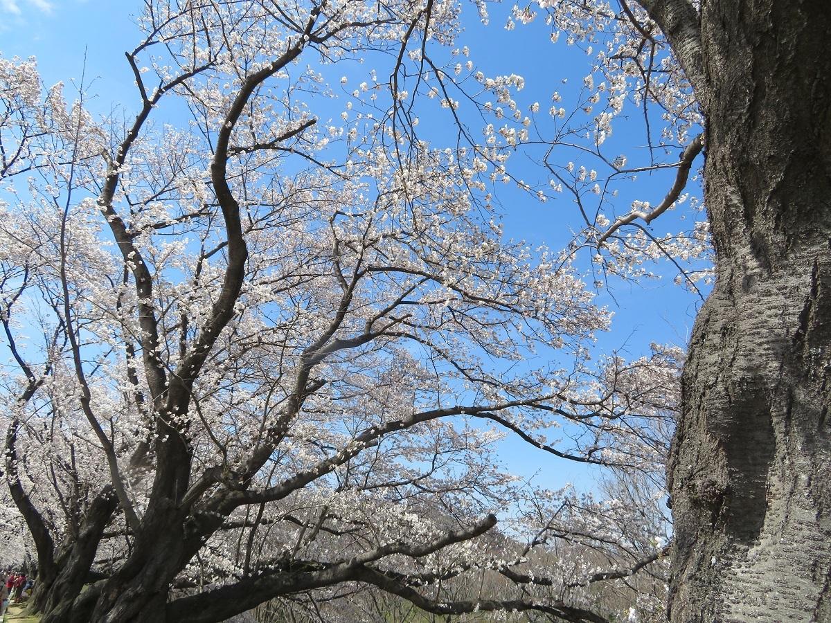 2.「老桜満開」(八幡市背割堤)