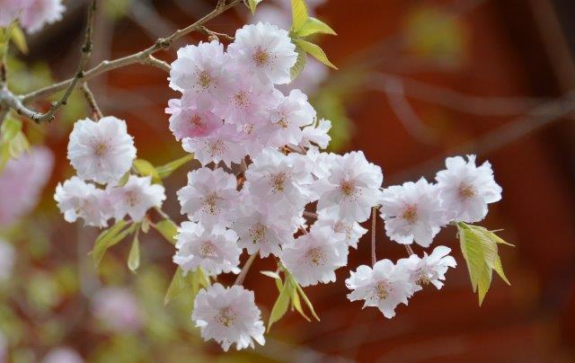 3.『桜花爛漫』(談山神社)