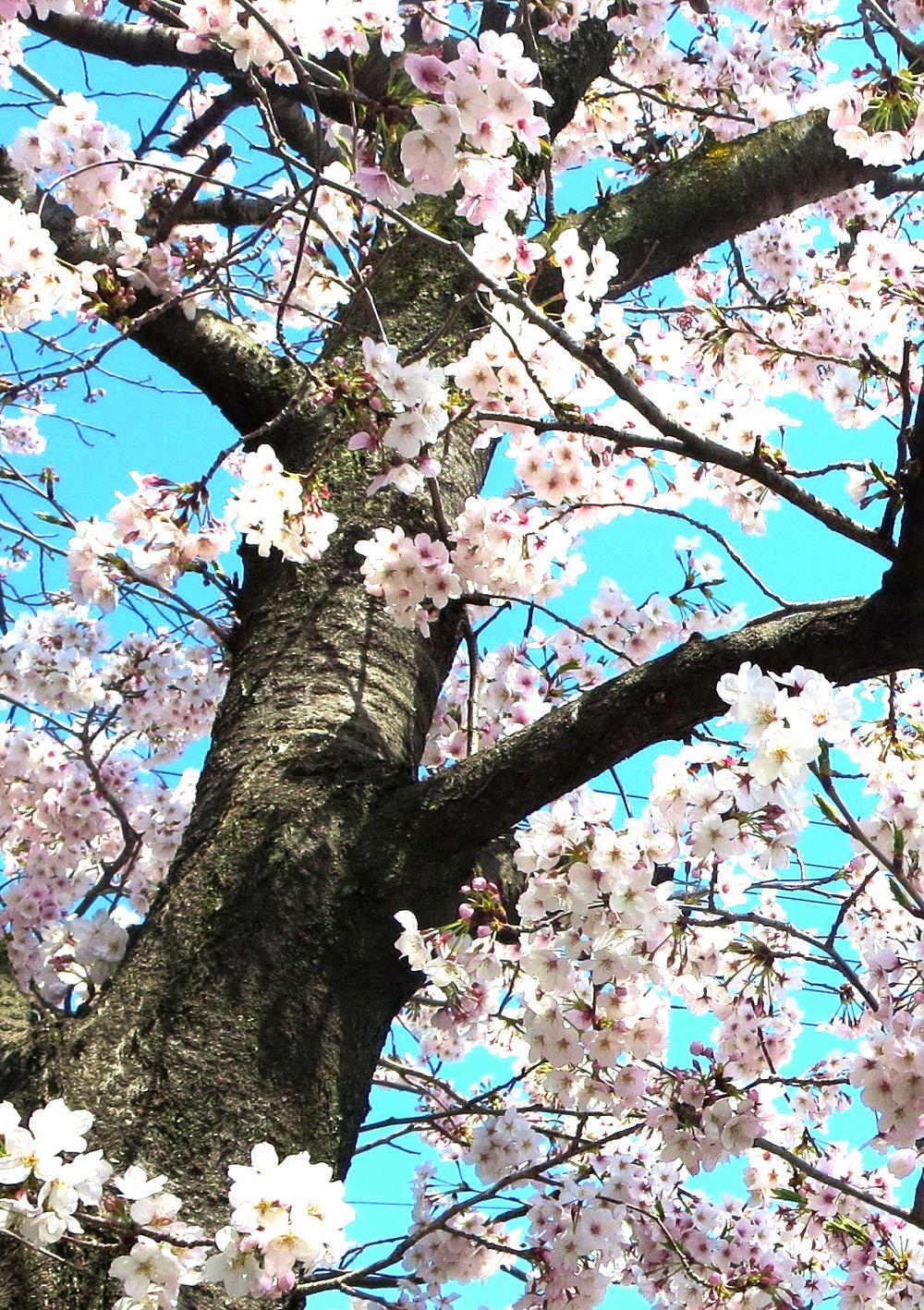 9.『希望の春』(自宅近くで)