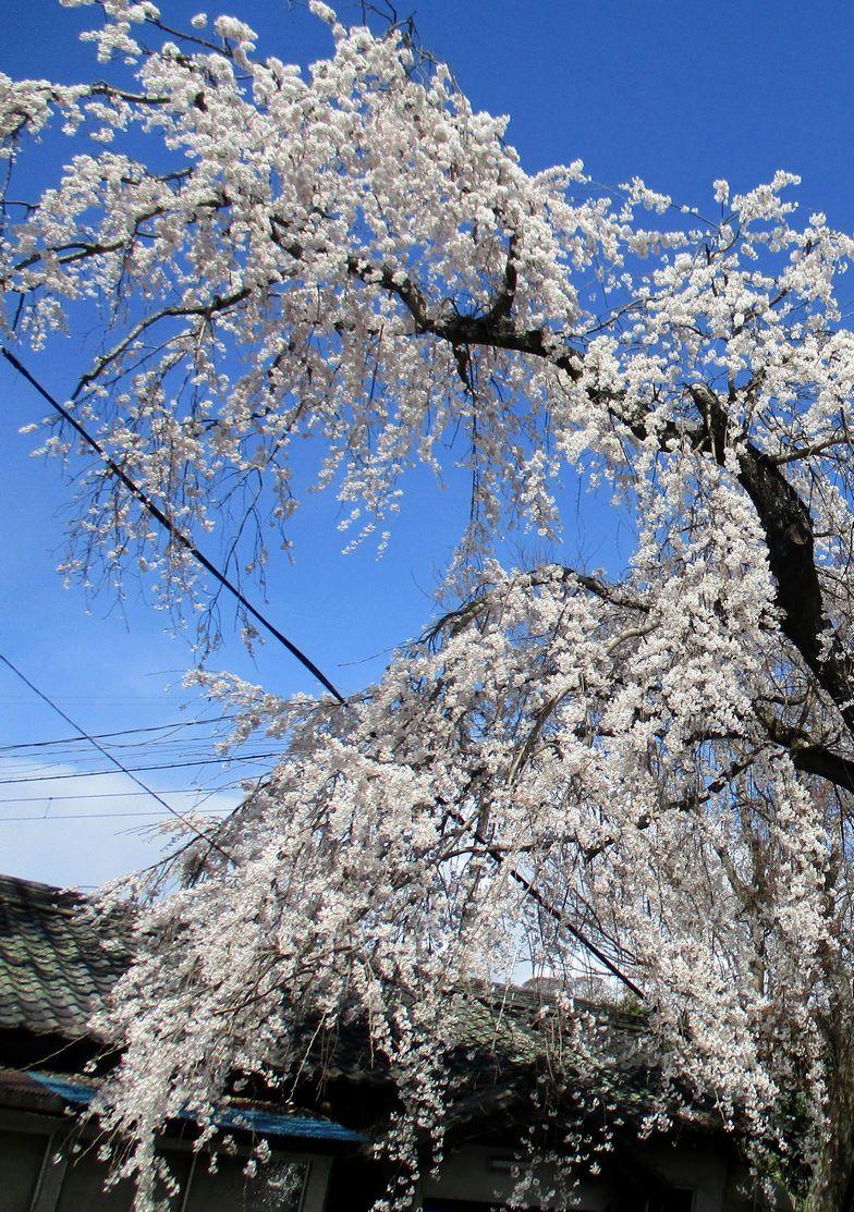 10.「龍が昇る糸桜」(伊賀上野市)