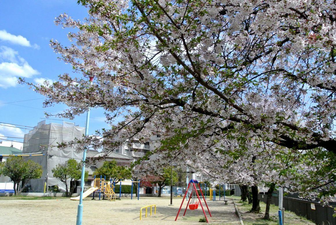 11.『公園の桜』(自宅近く)