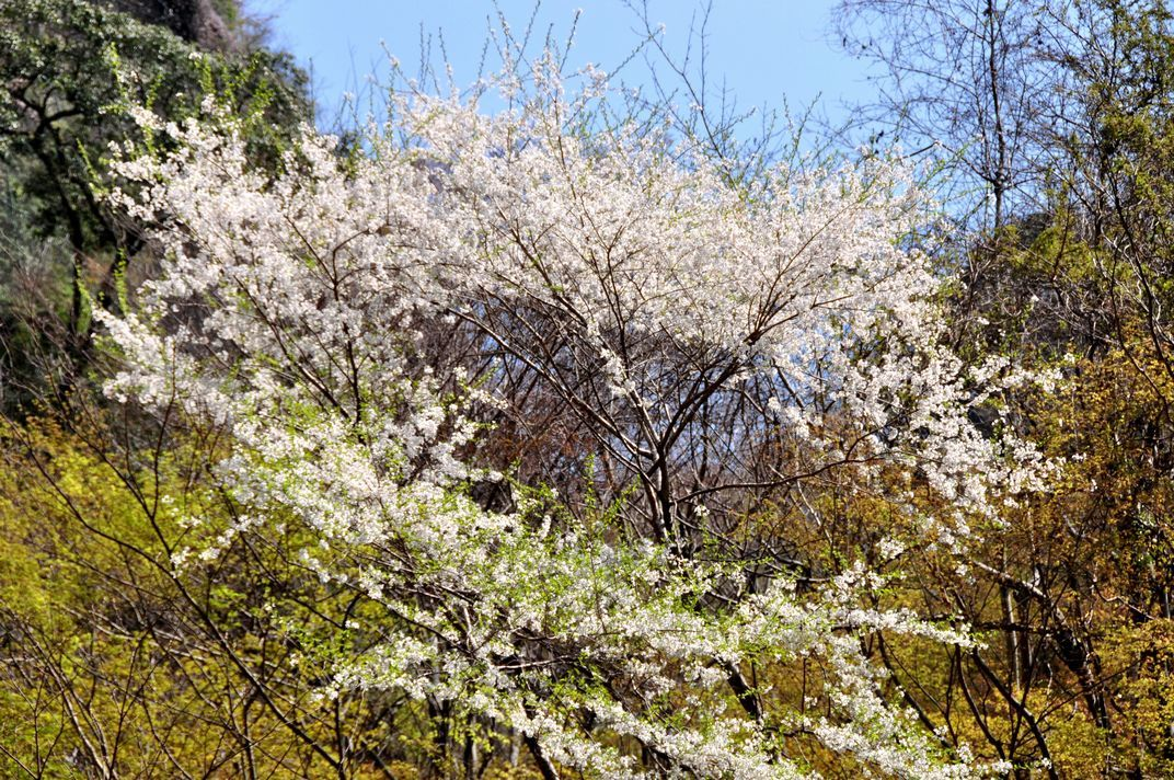 12.『新緑と桜』(箕面の滝道で)