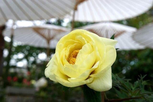 ③黄色いぼたん