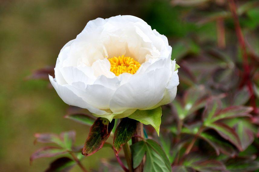 ⑤清楚な白い牡丹