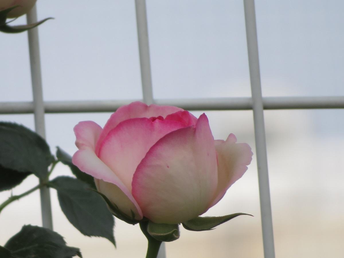 ⑤ピンクの貴婦人