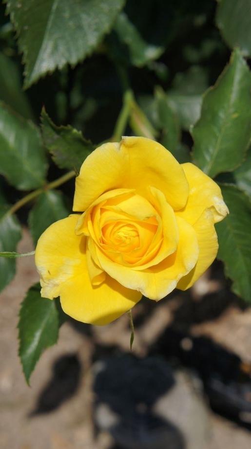 ⑦黄色いバラ一輪